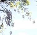 櫻花樹下的屍體