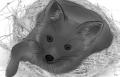 鳥窩中的狐狸